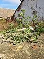 Chenopodium murale sl26.jpg