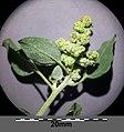 Chenopodium vulvaria sl37.jpg