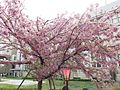 """Cherry-Blossom-Viewing through the """"Tunnel"""" at Japan Mint in 201504 033.JPG"""
