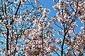 Cherry blossoms Lake Balboa (20140330-0329).JPG