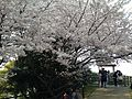 Cherry blossoms in Central Observation Square of Nishi Park.JPG