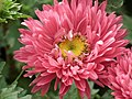 China Aster from Lalbagh flower show Aug 2013 8104.JPG