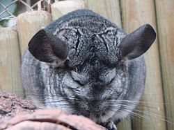 Chinchilla lanigera (Wroclaw zoo)-1.JPG