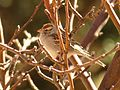 Chipping Sparrow - Flickr - treegrow.jpg
