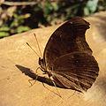 Chocolate Pansy - Junonia iphita 1.JPG