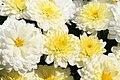 Chrysanthemum Padre White 0zz.jpg