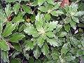 Chrysanthemum pacificum 1zz.jpg