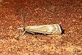 Chrysoteuchia culmella (FG) (14953499994).jpg