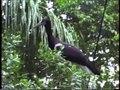 File:Ciconiidae - Ciconia abdimii (Abdim's Stork).webm
