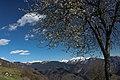 Ciliegi in fiore - panoramio (1).jpg