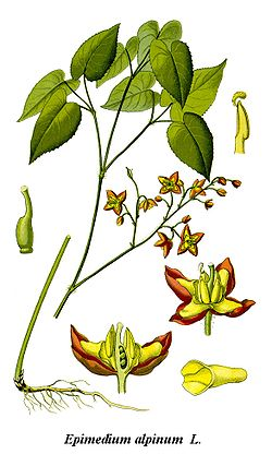 Cleaned-Illustration Epimedium alpinum.jpg
