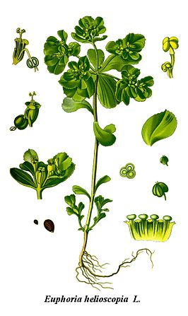 Cleaned-Illustration Euphorbia helioscopia.jpg