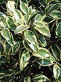 Cleyera japonica - Villa Melzi (Bellagio) - DSC02733 (crop).jpg