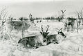 Close-up of three reindeer on a snowcovered plain.jpg