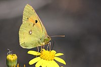 Clouded yellow (Colias croceus).jpg