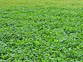 Clover on field margin - geograph.org.uk - 266129.jpg