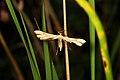 Cnaemidophorus rhododactyla (35661805453).jpg
