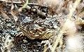 Coast horned lizard found at restoration site (34744262452).jpg