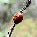 Coccinella septempunctata 55080517.jpg