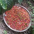 Cofee beans picking.jpg