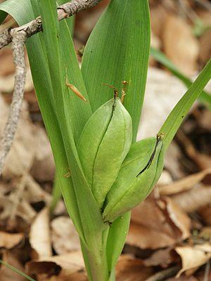 Colchicum autumnale - Image: Colchicum autumnale 050505