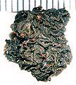 Collema undulatum-3.jpg