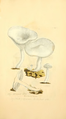 Coloured Figures of English Fungi or Mushrooms - t. 142.png