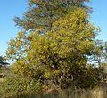 Combretum apiculatum, habitus, Steenbokpan, c.jpg