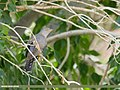 Common Cuckoo (Cuculus canorus) (51364578367).jpg