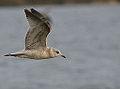 Common Gull (Larus canus) (13042335164).jpg