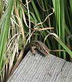 Common Lizard on Thursley Common 1.JPG