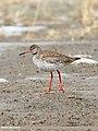 Common Redshank (Tringa totanus) (33875405832).jpg