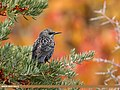 Common Starling (Sturnus vulgaris) (46575704691).jpg