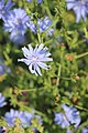 Common chicory - Cichorium intybus - panoramio.jpg