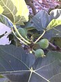 Common fig - leaves and green figs.jpg