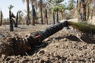 Merowe Dam -  During relocation of the Manasir from Dar al-Manasir ahead of the flooding their villages were destroyed and compensated palm trees were burned