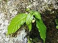 Conandron ramondiodes.jpg
