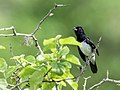 Conothraupis speculigera - Black-and-white Tanager - male.jpg