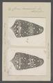 Conus ammiralis - - Print - Iconographia Zoologica - Special Collections University of Amsterdam - UBAINV0274 086 07 0006.tif