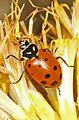 Convergent Lady Beetle - Hippodamia convergens, near Lake Entiat, Washington.jpg