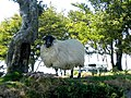Cool sheep - geograph.org.uk - 208435.jpg
