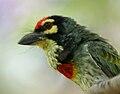 Coppersmith Barbet (Megalaima haemacephala) calling in Hyderabad W2 IMG 8290.jpg