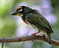 Coppersmith Barbet (Megalaima haemacephala) calling in Hyderabad W IMG 8282.jpg