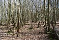 Coppiced trees, Puckden Wood - geograph.org.uk - 1261658.jpg