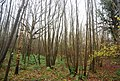 Coppiced trees, Trenleypark Wood - geograph.org.uk - 1618806.jpg