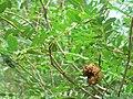Cordyla madagascariensis 02.jpg