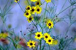 Coreopsis close-up (8472085978).jpg
