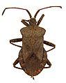 Coreus marginatus ZSM.jpg