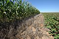 Corn and cotton on Bobby Byrd's farm with crop residue -- Hale County, near Plainview, Texas. (24490364053).jpg