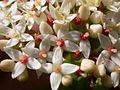 Cornus sericea (5257605759).jpg